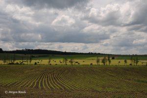 Junges Maisfeld am Saar-Kohlekanal. im Hintergrund eine Baumreihe und bewaldeter Hügel.